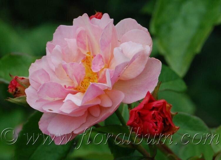 Rosa ' Cornelia'