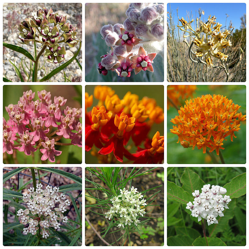 Asclepias_collage