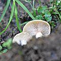 Armillaria cepistipes (3)