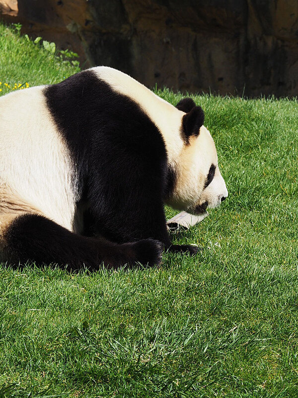 zoo-beauval-animaux-panda-18
