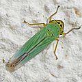 Cicadelle verte • Cicadella viridis • Famille des Cicadellidae
