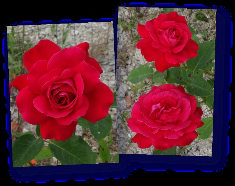 rosier dame de coeur