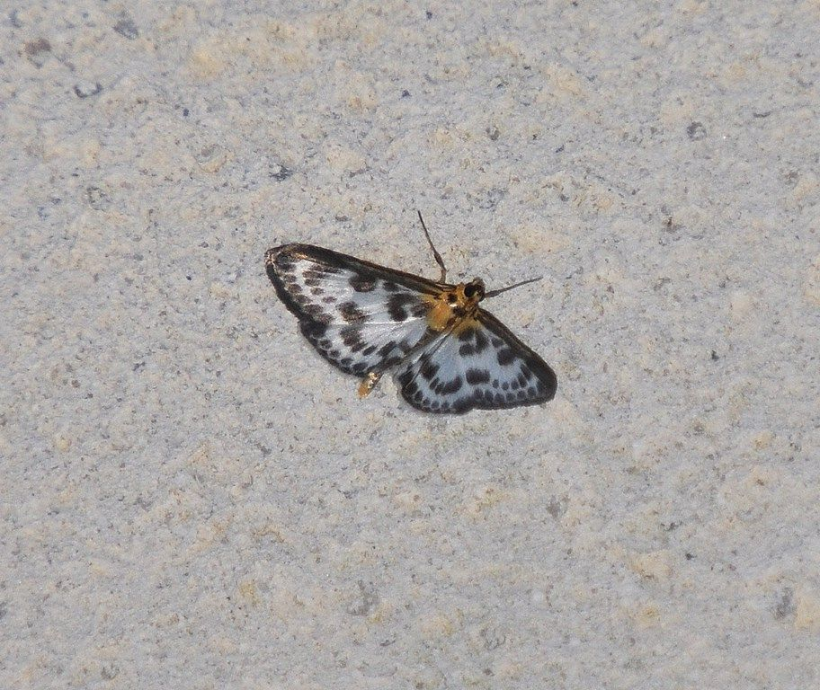 Eurrhypara hortulata ( Pyrale de l'ortie)