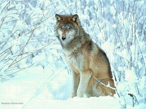 real_8305_loup_assis_neige
