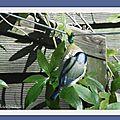 Mésange bleue 251117