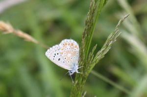 Papillon_Argus_bleu_ailes_ferm_es_Polyommatus__icarus_Azuree_de_la_Bugrane