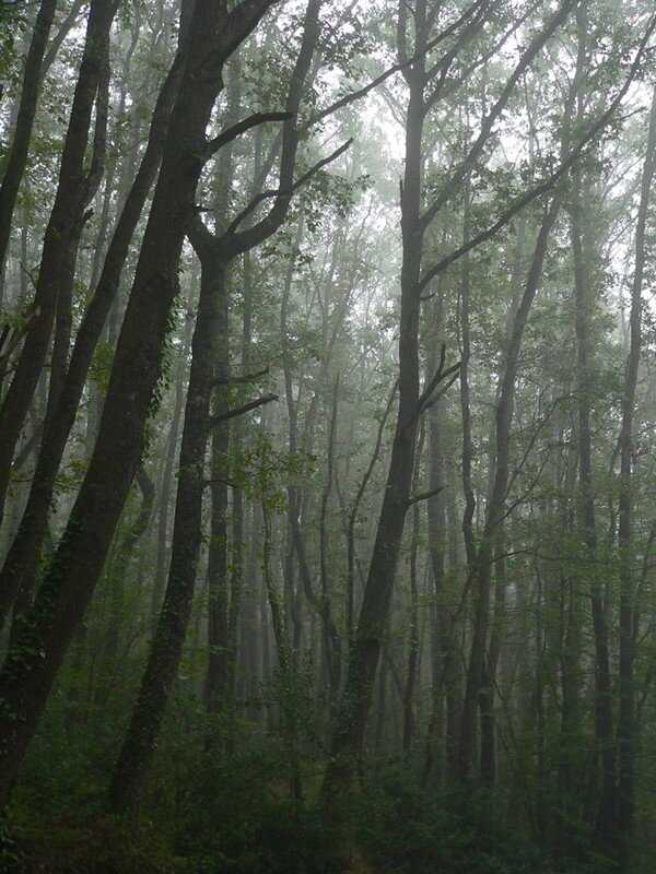 Forêt par temps de brouillard