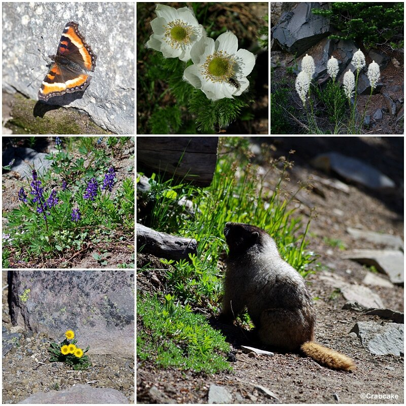 Sunrise Fauna and Flora Mount Rainier