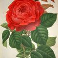 Le Journal des Roses : 'Mme la Comtesse de Camondo'