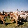 Vaches Longhorns en Oklahoma