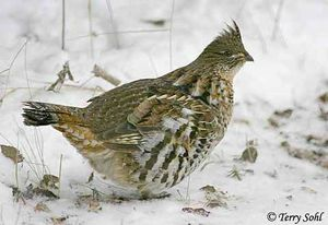 ruffed_grouse