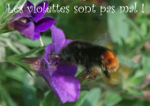 0207bourdonfleurviolette