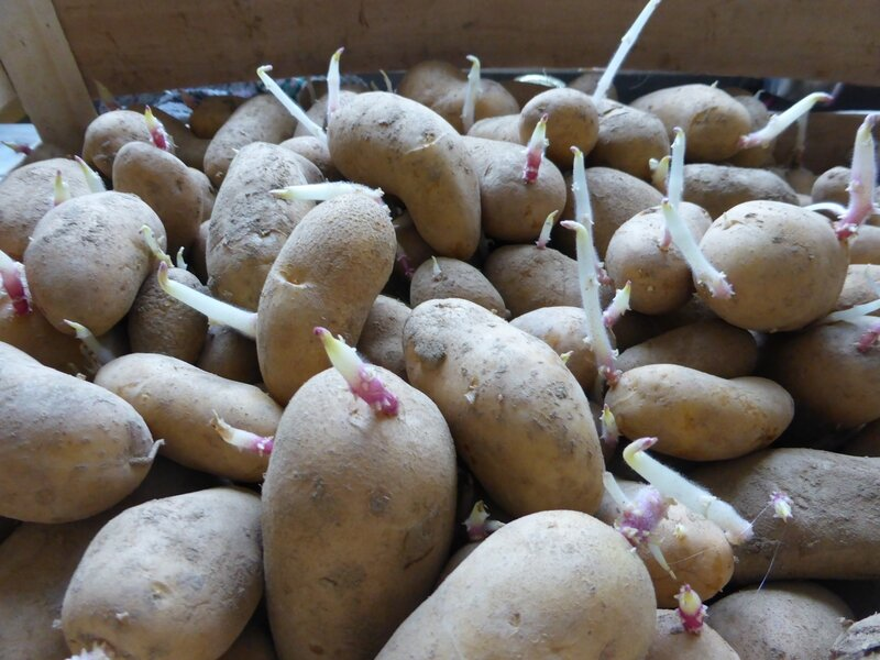 20-patates germées (3)