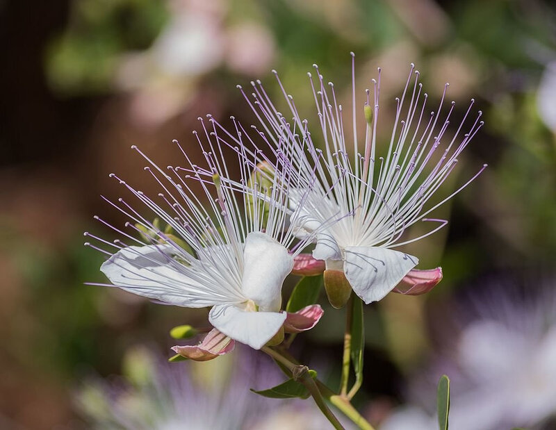 Câprier 2 fleur