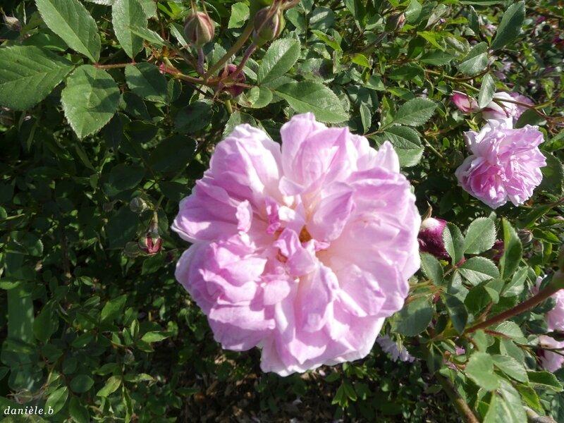 Rose JP N°33