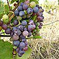 Petites nouvelles de la vigne