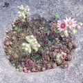 La floraison des joubarbes