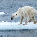 Ours polaires / le déclin annonce ...