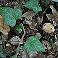 Leucocortinarius bulbiger (2)