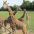 Les girafes de cerza
