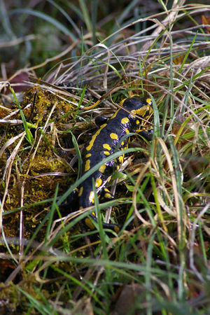 Salamandre_tachet_e_01_small