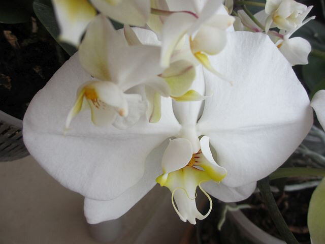 blog orchid4
