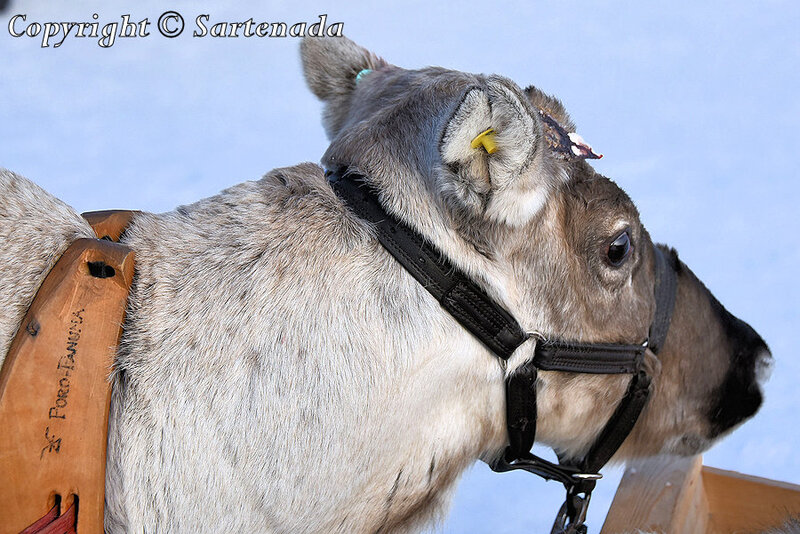 reindeer_rides_for_families_oulu_-4