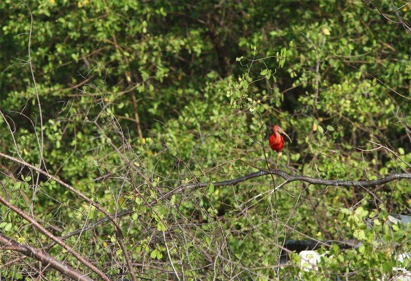 Eudocimus ruber - Ibis rouge