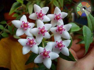 Hoya bella2