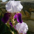 Iris Mauve eet Blanc