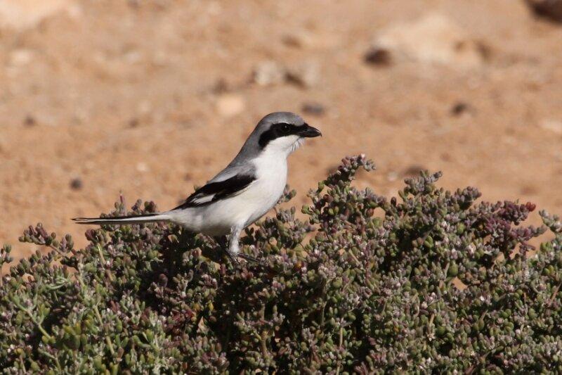 Lanius meridionalis elegans5_Route d'Awserd_Maroc_XRu