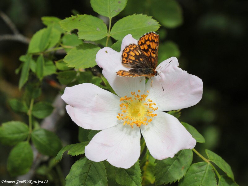 Photos JMP©Koufra 12 - Le Caylar - Fleur - 06062018 - 018