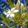 04B. Frangipanier en fleurs