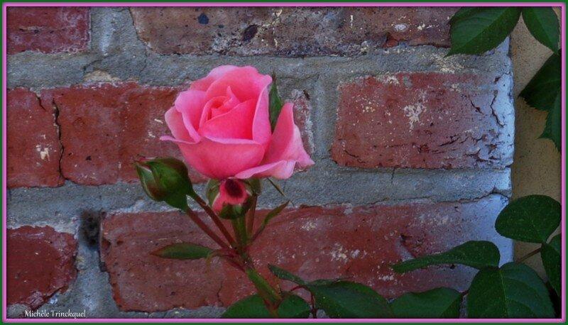 Rose rose et boutons 1705153