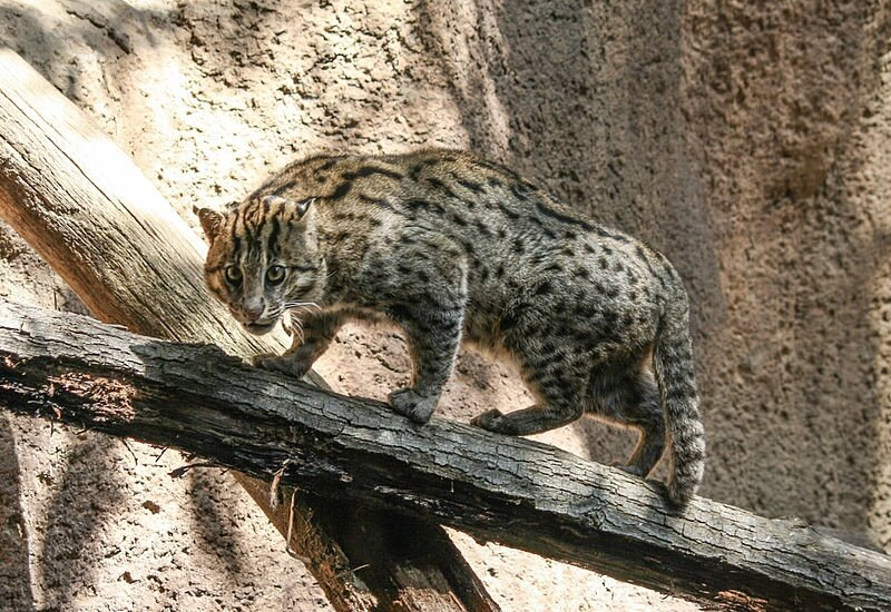 800px-Fishing_cat_in_San_Diego_Zoo