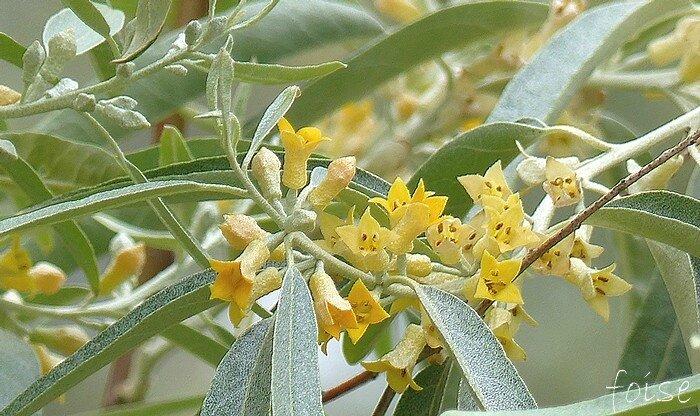 Fleurs mellifères à odeur sucrée de 1 à 3 en glomérules axillaires