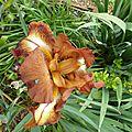 iris marron du jardin