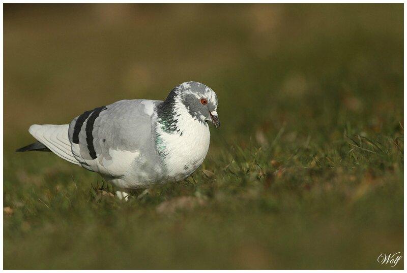 pigeon-biset-16-02