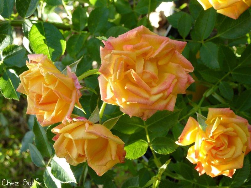 rosier little sunset2