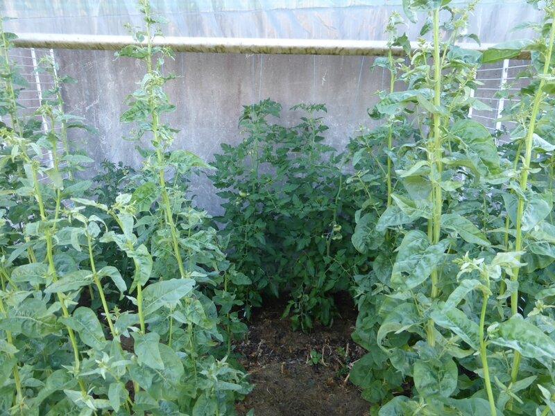 30-arroche, piments et tomates (4)