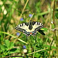 Machaon, Grand Porte-Queue ( 30 AVRIL 2011 )