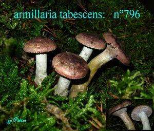 armillaria_tabescens__n_796
