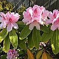 Rhododendron du jardin