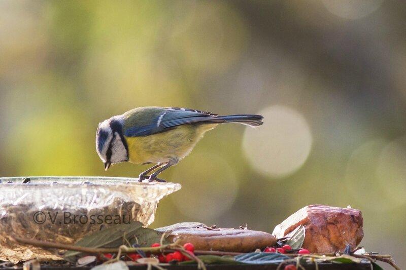 mésange-bleue15-26