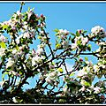 Fleurs de Pommier 1704153