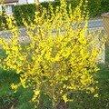 Forsythia de notre jardin