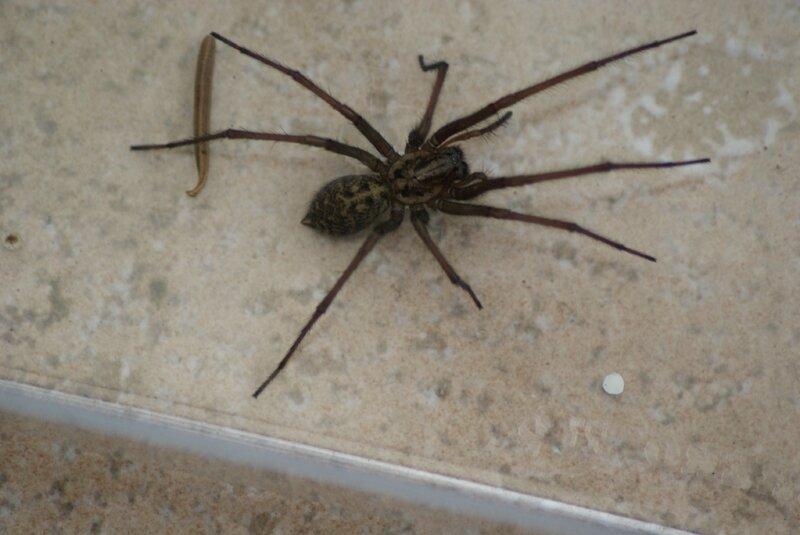 =araignée 35