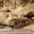 Kenya gnous août 2008