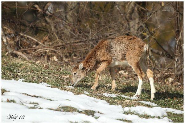 mouflon13-07