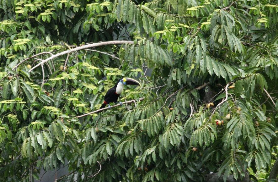 Toucan à bec rouge_Saül_Guyane 2017_XRu